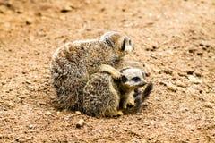 Meerkat adulto y Cubs Imagenes de archivo