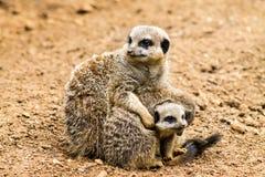 Meerkat adulto y Cubs Fotos de archivo libres de regalías