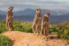 Meerkat affärsföretag Royaltyfri Bild