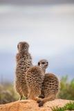 Meerkat aff Royaltyfria Bilder