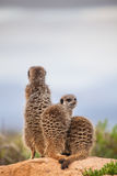 Meerkat aff Royaltyfri Foto