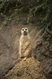 Meerkat of Africa watching on sentry duty from large ant hill stock photos