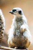 Meerkat africano salvaje (suricatta del Suricata) Foto de archivo libre de regalías