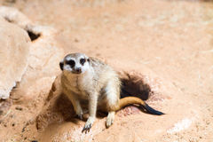 Meerkat africano selvagem (suricatta do Suricata) Fotografia de Stock Royalty Free