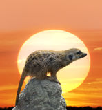 Meerkat Against  Sunset Royalty Free Stock Photography