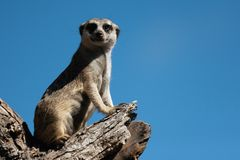 Meerkat, aka suricate, που κάθεται κατακόρυφα στον κορμό δέντρων στοκ εικόνα