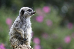 Meerkat Alert Royalty Free Stock Photo