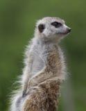 Meerkat on alert. Meerkat in typical pose with green background Stock Images