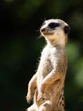 Meerkat on alert. Meerkat, aka suricate, as a guard on alert. Small african carnivore Royalty Free Stock Images