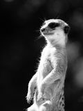 Meerkat on alert. Meerkat, aka suricate, as a guard on alert. Small african carnivore. Black and white image Stock Photo
