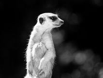 Meerkat on alert. Meerkat, aka suricate, as a guard on alert. Small african carnivore. Black and white image Royalty Free Stock Photography