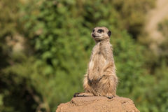 Meerkat on alert Royalty Free Stock Images