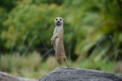Captive Meerkat on Alert Stock Photography