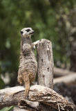Meerkat on alert Royalty Free Stock Photography