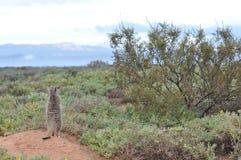 Meerkat alerta Foto de Stock