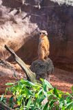 Meerkat alerta que procura predadores imagens de stock