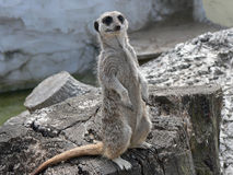 Meerkat alerte Photos stock