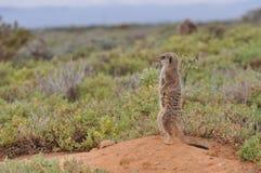 Meerkat alerte Image stock