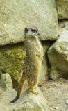 Meerkat allo zoo Fotografia Stock Libera da Diritti