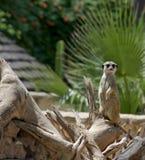 Meerkat anhydrous Natur royaltyfria foton
