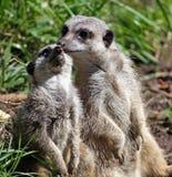Meerkat animal Stock Image