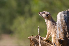 Meerkat animal  on guard Stock Images