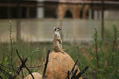 Meerkat animal Royalty Free Stock Images