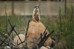 Meerkat animal on  stone Royalty Free Stock Photos