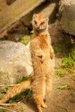 Meerkat anseende i en posera Royaltyfri Foto