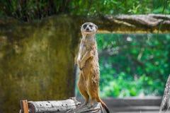 Meerkat anseende på en timmer Royaltyfri Foto