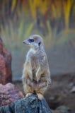 Meerkat anseende på en vagga Royaltyfria Bilder