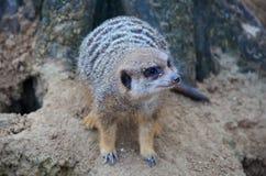 Meerkat anseende på en vagga Fotografering för Bildbyråer