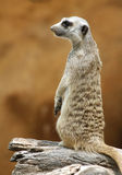 Meerkat anseende på trä Arkivfoton