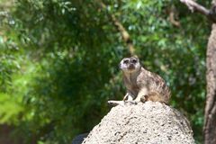 Meerkat on an ant hill Royalty Free Stock Images