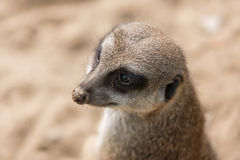 Meerkat in Antwerp zoo Royalty Free Stock Photography