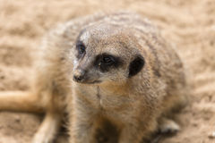 Meerkat in Antwerp zoo Royalty Free Stock Images