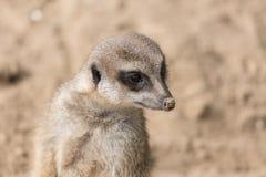 Meerkat in Antwerp zoo Stock Images