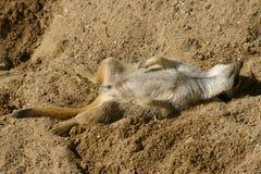 Meerkat asleep Stock Images