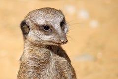 Meerkat attentif Images libres de droits