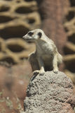Meerkat attentif sur la roche Photo libre de droits