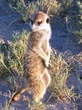 Meerkat at Attention. A meerkat stands on the African plains Stock Photos