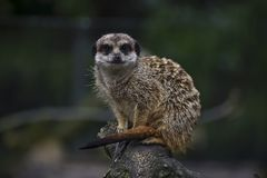 Meerkat. Attentive seated marmot, guarding his family Stock Photography