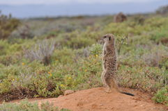 Meerkat attento Immagine Stock