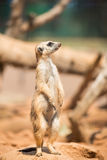 Meerkat attento che sta in guardia Fotografia Stock Libera da Diritti