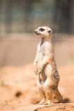 Meerkat attento che sta in guardia Fotografie Stock