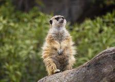 Meerkat au-dessus d'un rondin de bois Photographie stock