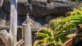 The meerkat in Auckland Zoo. Royalty Free Stock Image