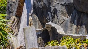 The meerkat in Auckland Zoo. Stock Image