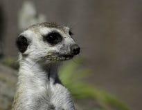 Meerkat auf einem Ausblick Lizenzfreies Stockbild
