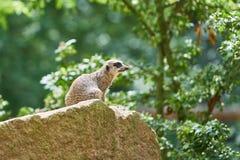 Meerkat auf einem Felsen Stockbild